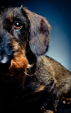 Maissi by Janne Kaakinen, stunning shot of a truly beautiful dog. dachshund