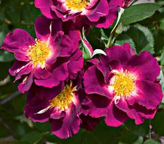 Rosa Stormy Weather.  A climbing rose bush.  Part of my rainbow collection from Spring Hill