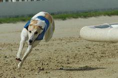 Greyhound photo | carthageagriculture / Greyhound 3