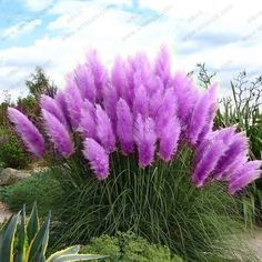 Cheap pampas grass seeds, Buy Quality grass seed directly from China plant seeds Suppliers: 600 pcs new rare purple pampas grass seeds Ornamental Plant seeds Cortaderia Selloana Grass Seeds for home garden plants Home Garden Plants, Bonsai Garden, Pot Plants, Plants Sunny, Water Plants, Bonsai Plants, Indoor Bonsai, House Plants, Purple Pampas Grass