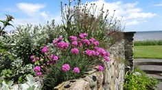 Thrift in full bloom growing in the wall by the sea.