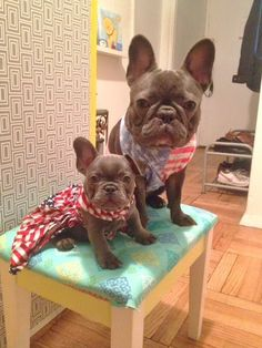 ameriican frenchies