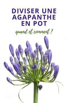 When and easy methods to divide an agapanthus pot Potager Garden, Terrace Garden, Garden Art, Garden Basket, Hydrangea Care, Pot Jardin, Desert Plants, Green Life, Front Yard Landscaping