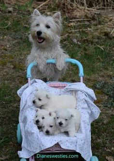 'I'm just taking my Babies to the Park to see the Ducks' - Mother West Highland Terrier Dog with her Baby Puppies in a pram