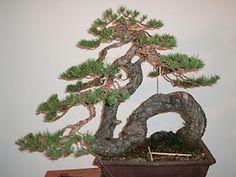 pino de Alberto kingii
