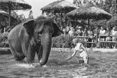 Joan Embery and Carol the elephant shown together in the Park's elephant show. Joan helped raise Carol, who grew up in the San Diego Zoo and moved to the Park when it opened. Steve Irwin, San Diego Zoo, Zoo Animals, Elephants, Nashville, Growing Up, In This Moment, Explore, Park