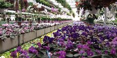 LyndonLyon.com ... I use these guys as one of my go to's of finding my violets ... The plants you get at big box stores are going to be Optimara & they are BOOOring ...