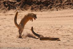 The yellow mongoose, normally prey for big snakes, is sent running after trying to grab this adder.