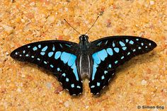 Butterflies of Singapore: Revision to the Common Names of Butterflies 2