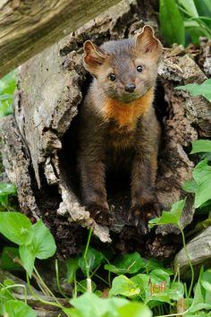 Photo by Jeff Wendorff. American Marten, Pine Marten, Animals Of The World, Pet Birds, Fox, Creatures, Bear, Adventure, Canada