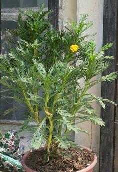 """""""Paquerette Inglés o Californiano"""" -- Planta de atractivo follaje grisáceo y bella floración invernal. Presenta flores amarillo dorado durante casi todo el año, excepto en verano. Se utiliza para formar grupos de flor pero también es muy útil para cultivar en maceteros y jardineras. Soporta largos períodos de sequedad, por lo que es excelente para jardines donde se necesite poco cuidado. Se recomienda recortar anualmente en primavera para mantener la forma. -Nombre de la Planta: Paquerette…"""