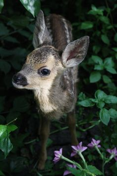 fawn - Male deer of all species (except the Chinese water deer) and female reindeer grow and shed new antlers each year