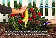Utilisez une peau de banane pour avoir de beaux rosiers