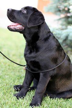 Labrador retriver - Edlen House Seldom Treasure