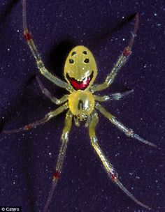 Scientists think the spider, which is harmless to humans, has evolved the patterns to confuse predators.