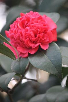 Professor Charles Sargent Camellia Japonica Recommended for US Gulf Coast by Camelia Garden Field Guide.