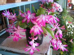 Flor de Maio. Cientificamente chamada de Schlumbergera truncata, a Flor de Maio é um dos cactos mais cultivados do Brasil