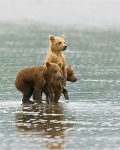 So adorable! I could watch brown bear cubs all day long and never grow tired of it. They are so beautiful!