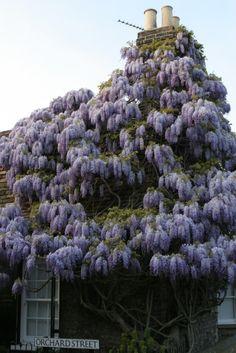 Incredible wisteria