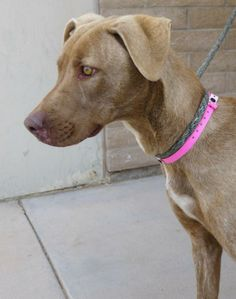 !VERY IMPORTANT ! YOU MUST ASK FOR: ANIMAL NUMBER: A152072A volunteer states: A152072 - Meet Collette! She is a 1 1/2 yr old, female, (looks like) Weimaraner mix. She weighs around 45 lbs, and is significantly underweight. Her energy level is...