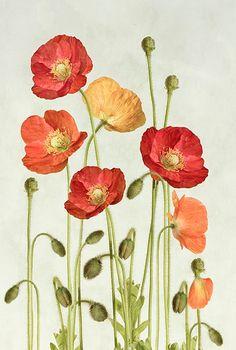 prettylittleflower:    poppies (by ~Mandy~D)