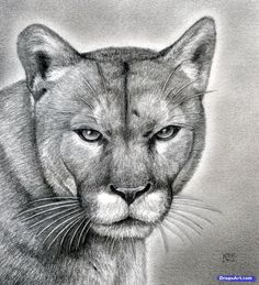 how to draw a realistic puma, mountain lion, step - realistic lion drawing Animal Sketches, Animal Drawings, Art Sketches, Drawing Animals, Pencil Drawings, Lion Drawing, Painting & Drawing, Realistic Drawings, Love Drawings