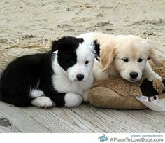 Tired puppies Border Collie, Clewe and Golden Retriever, Trelawney resting at the beach