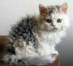 ♥️Poodle cats could be the new rage for feline fans. of breeding has resulted in a new breed of curly haired cat called The Selkirk Rex // Photo via Web Cool Cats, I Love Cats, Crazy Cats, Curly Haired Cat, Curly Cat, Curly Girl, Cute Kittens, Cats And Kittens, Persian Kittens