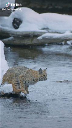 My animal life – welcom to animals life! Funny Animal Videos, Cute Funny Animals, Cute Cats, Mundo Animal, My Animal, Lynx Tattoo, Exotic Cats, Big Cats, Small Wild Cats