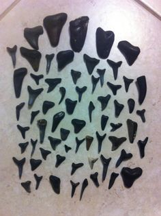 The Diffe Kinds Of Sharks Teeth You Will Find Along Venice Beaches In Florida