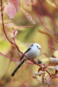 The long-tailed tit or long-tailed bushtit (Aegithalos caudatus) is a common bird found throughout Europe and Asia. There are several extensive accounts of this species, most notably Cramp and Perrins, 1993; Gaston, 1973; and Harrap and Quinn, 1996. The majority of relevant research has been directed at its social and breeding behaviour.
