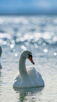 swans_couple_swim_birds_grace_devotion_sea_river_lake_light_shine_53462_640x1136 | Flickr - Photo Sharing!