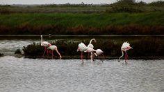 ospiti della #salina di #comacchio -- #COIIIACCHIO #visitcomacchio #vallidicomacchio #fenicotteri #flamingo #pink #pinkflamingo #bird #birdwatching #nature #naturelovers #riserva #unesco #mabunesco #italia #italy #emiliaromagna #turismoer #igers #igersitalia #igersemiliaromagna #igersferrara #volgoferrara by comunedicomacchio