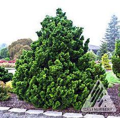 Viburnum Awabuki 6 12 high wide excellent hedge or screening