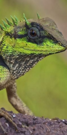 northern crested forest lizard
