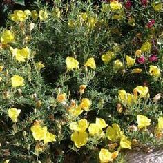 Calylophus berlandieriatSan Marcos Growers - this is what i have, not the oenthera