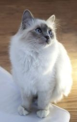 Sienna is an adoptable Birman Cat in San Antonio, TX. Sienna is a 2 year old female Birman. She weighs 12 lbs, but looks much bigger. She is fully vetted, vaccinated, microchipped, tested foe FeLV