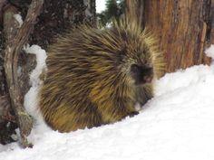Porcupine! At Mt. Rainier
