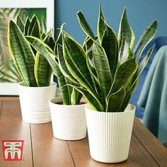 Explore various types of healthy house plants for indoor air purification and interior design. Improve your home's indoor air quality and make a healthier space for you and your pets. Sansevieria Plant, Sansevieria Trifasciata, Agaves, Garden Plants, Indoor Plants, Indoor Garden, Snake Plant Care, Types Of Snake, Clusia