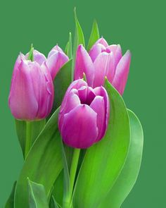 Gorgeous Tulips | by njchow82