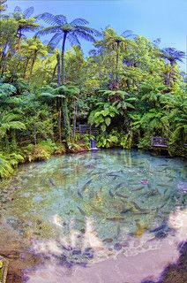 Trout swim about in a pond in Rotorua, New Zealand.