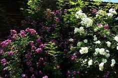 Das Ausgangsprodukt -  Rosen am Haus #Rosen