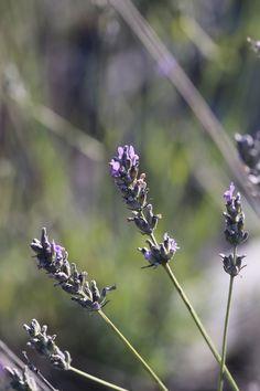 Lavande aspic - flore méditerranéenne [ La Cabane aux arômes ]