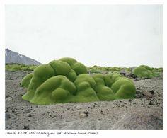 la llareta, en Atacama,Chile. Un arbusto con flor pariente del perejil.