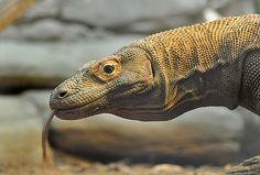 Komodo dragon!    Reptiles An important part of the ecosystem even if you don't think he is cute.
