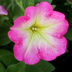 Petunia 'Fame Pink Morn Dark' | Log House Plants