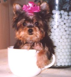 small dog & pink bow. so cute! one day when i dont have 2 destructive children, i will have a small dog like this:)