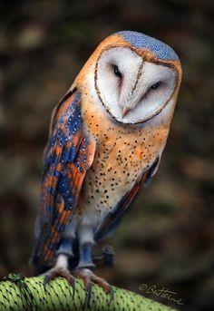 Heart-Shaped Face Barn Owl by BenHeine