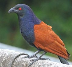 The Greater Coucal or Crow Pheasant (Centropus sinensis) is a large non-parasitic member of the cuckoo order of birds, the Cuculiformes. A widespread resident in Asia, from India, east to south China and Indonesia.