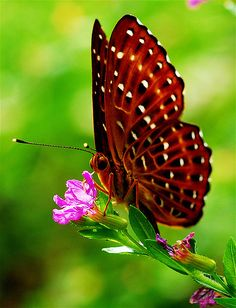 ~~Punchinello Butterfly by dannytong123~~